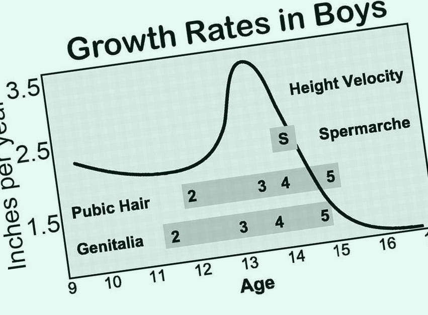 What age does ur penis stop growing